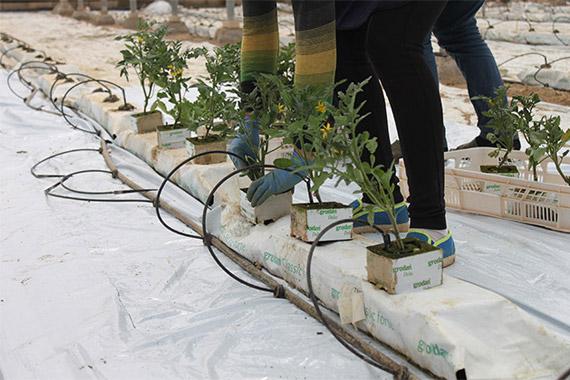 plantacion-corazon-de-buey-ikersa-570-380