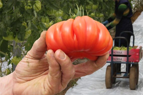 tomate-tomato-cotele-coeur-de-boeur-mano-570-380